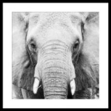 W/A Elephant Front 90x90