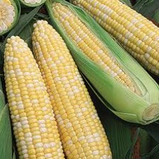 OBSESSION BI-COLOUR SWEET CORN
