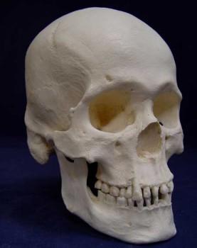 Human Skulls and bones for sale