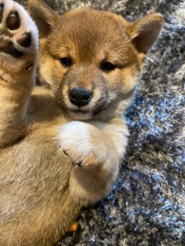 Registered Shiba Inu puppy For Sale
