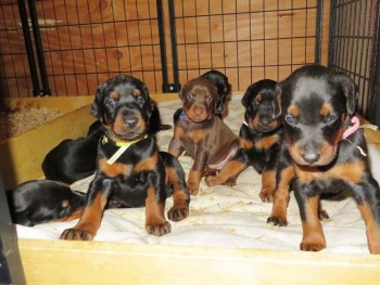 Beautiful Doberman Pinscher Puppies