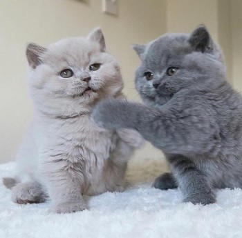 Cute British Kittens for re homing