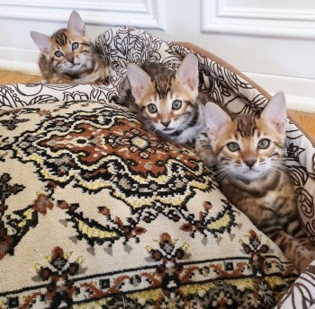 Cute Bengal kittens for re homing