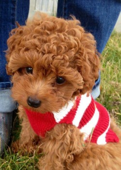 Two Toy Poodle Puppies For Adoption