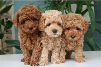 Male and Female Toy Poodle Puppies