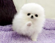Toy Pomeranian Puppies For Adoption c