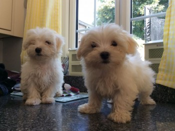 Outstanding Maltese Puppies For Sale