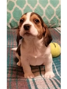 Passionate Beagle Puppies For Sale