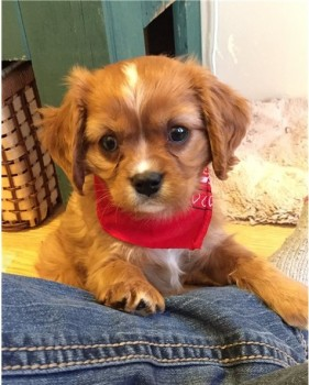 Cavalier King Charles Spaniel Puppies Fo