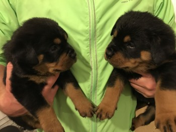 Rottweiler Puppies Ready to Leave