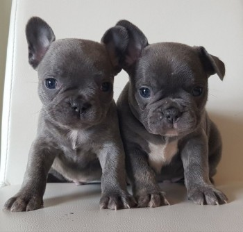 French bulldog Available for a perfect f