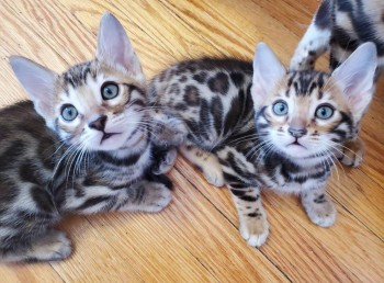 Lovely Two Bengal kittens for Rehoming