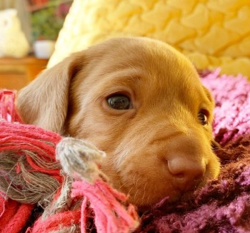 ADORABLE DACHSHUND PUPPY FOR SALE
