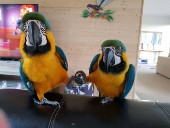 Pair of Blue and Gold Macaw for sale