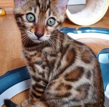 Healthy Bengal kittens for re homing