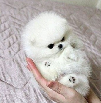 Lovely  teacup pomeranian puppies