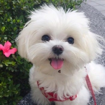 very lovable and sweet Maltese puppies