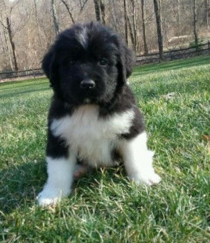 NEWFOUNDLAND PUPPIES AVAILABLE