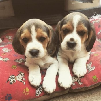 Ckc Beagle Puppies For Re-Homing