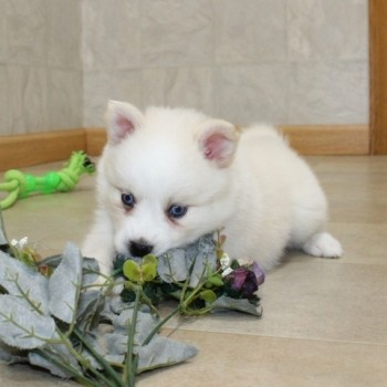 Pomsky  puppies male & female