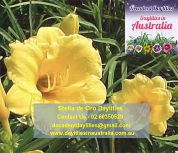 Buy Stella De Oro Daylily Online
