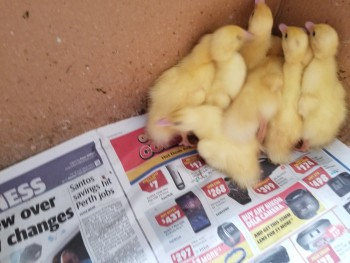 Muscovey Ducklings for sale