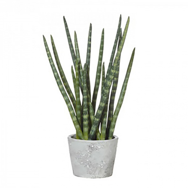 Snaketail Plant In Cement Pot Red/Green