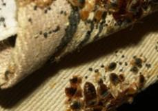 Pest Control Kaleen