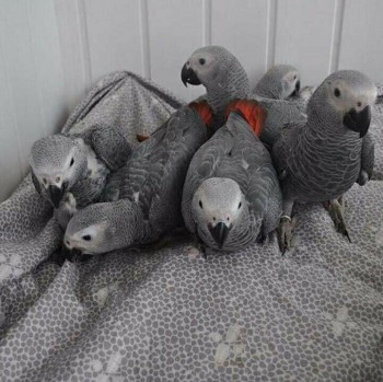 Young Friendly African Grey Parrots
