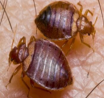 Bedbugs Control Perth