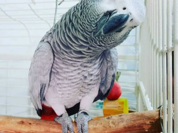 African grey looking for forever home