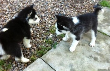 Giving Out- Free Siberian Husky Pups