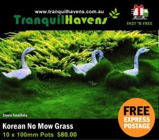 Korean No Mow Grass 100mm - 10 Pots Free