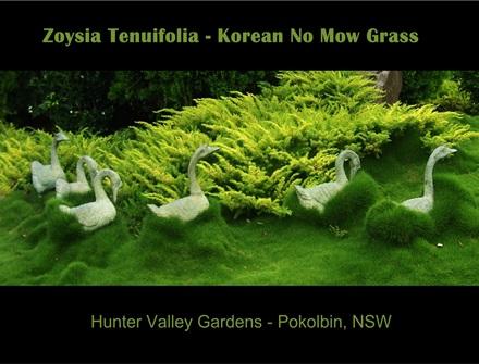 Korean No Mow Grass 100mm - 10 Pots Free