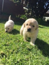 Free 2 Golden Retriever Puppies