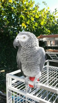 Talking African Gray Parrot
