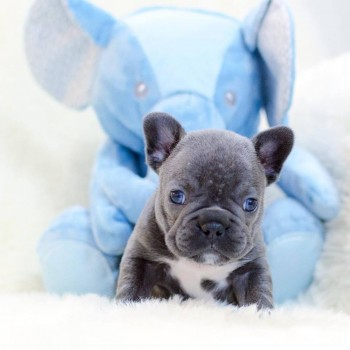 Blue French Bulldog Pups for sale (DELIV