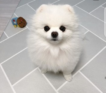 Super Mini white Pomeranian puppies look