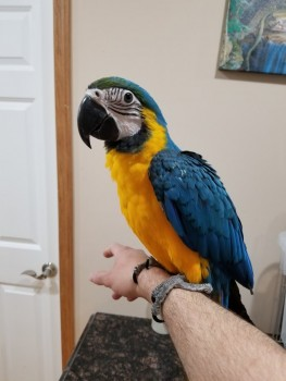 4 bunch of words blue/gold parrots