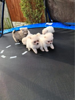 LOVELY POMERANIAN PUPPIES FOR SALE