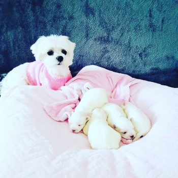 AMASING MALTESE PUPPIES FOR SALE