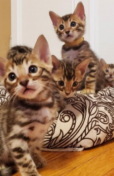 Male and female Bengal kittens ready for