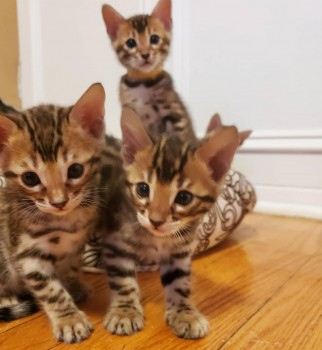 Male and female Bengal kittens for re ho