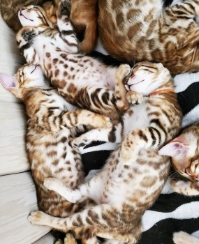 Bengal kittens for re homing