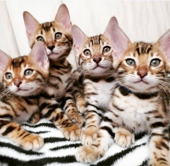 Male and female Bengals for re homing