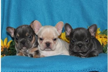 Sweet French bulldog pups