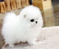 registered Pomeranian puppies up for a g