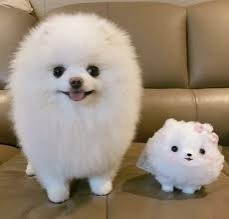 Good Looking Pomeranian Puppies for adop