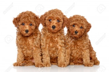 healthy Poodle puppies here for adoptio