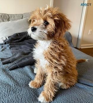 Adorable Cavapoo puppies Male
